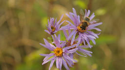 Wild Aster (Aster amellus) and bee, in the Czech Republic Footage