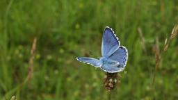 Wild blue butterfly (Polyommatus bellargus) ビデオ