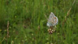 Wild blue butterfly (Polyommatus bellargus) Footage
