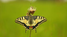 Swallowtail butterfly (Papilio machaon) Footage
