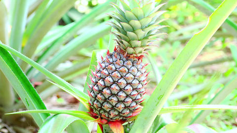 Close-up of pineapple growing on plantation. Edible tropical fruit Footage