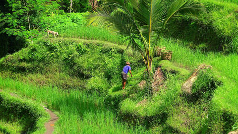 Asian farmer working on rice terraces in Bali Footage
