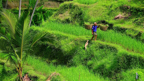 Agricultural worker walks with his dog and carries straw baskets with rice Footage