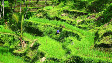 Balinese local farmer harvesting crops with sickle on rice plantation Footage