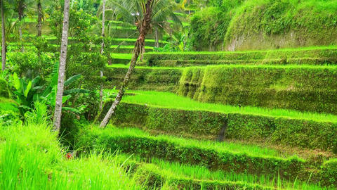 Beautiful scenery with paddy field surrounded by stepped terraces with rice Footage