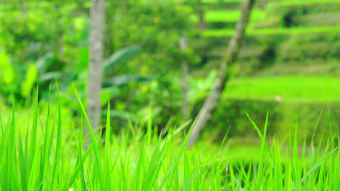 Young green seedlings of rice slightly swaying in wind against palm trunks Footage