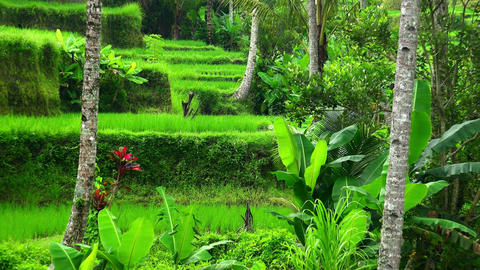 Water-controlling terrace system of rice plantations in Ubud, Indonesia Live Action