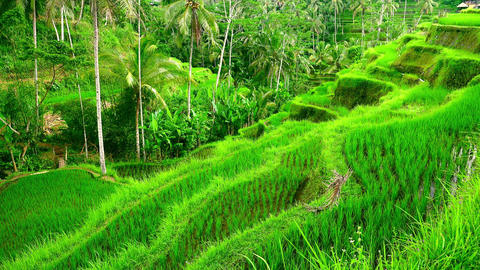 Water-controlling terrace system of rice plantations in Ubud, Indonesia Footage