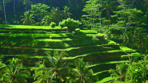 Rice terraces cascading downwards and forming valley surrounded by dense jungle Live Action
