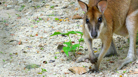 Sandy wallaby looking for food on ground and looks at camera Live Action
