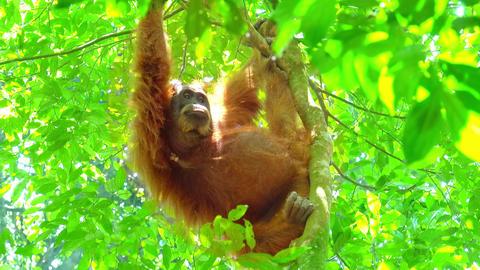 Orangutan female in tropical rainforest relaxing on tree. Sumatra, Indonesia Live Action