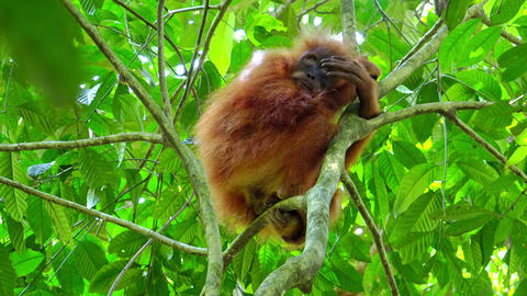 Orangutan cute baby in tropical rainforest relaxing on trees. Sumatra, Indonesia Live Action