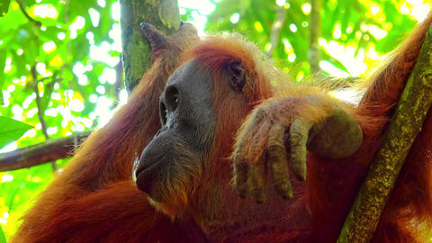 Orangutan female in tropical rainforest relaxing on tree. Sumatra, Indonesia Live Action