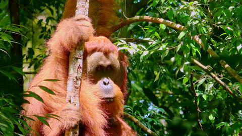 Orangutan male in tropical rainforest relaxing on tree. Sumatra, Indonesia Live Action