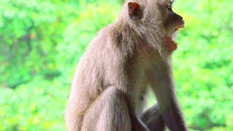 Close-up of Balinese long-tailed macaque looking around and yawning. Indonesia Footage