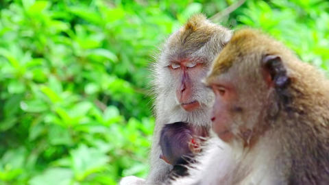 Adult and baby macaques sitting together at tropical forest. Indonesia Footage