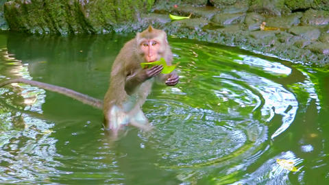 Monkey walking in water and playing with green leaf. Funny animal fooling around Archivo