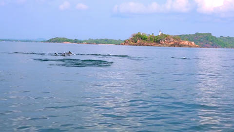 Dolphins breaching off and catching tuna fish during morning hunt. Sri Lanka Footage
