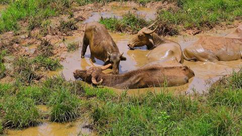 Asian water Buffalo enjoying muddy bathing in Udawalawe National Park. Sri Lanka Footage