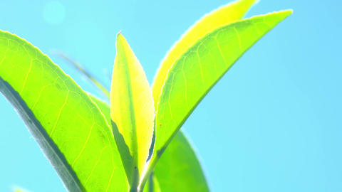 Zooming follow focus video of green tea leaves in Sri Lanka highland plantation Footage