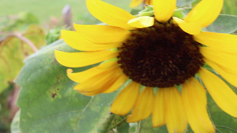 Sunflower blowing in the wind Live Action
