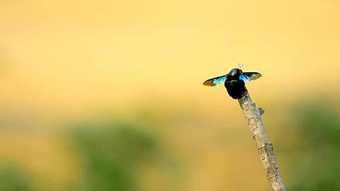 Slow zoom of common bug/Bumble Bee Footage