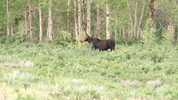 Moose Footage