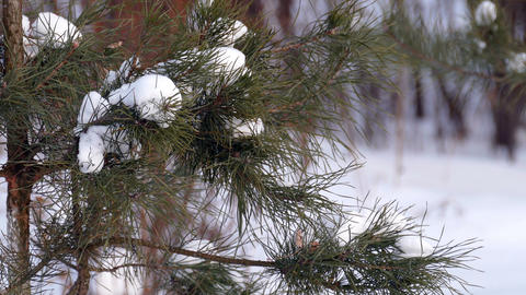 A Branch of Pine And Snow in The Winter Footage