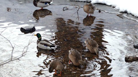 Ducks catch food from the bottom of the river in winter 2016 Footage