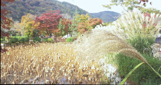 Beautiful traditional field in Kyoto Japan ライブ動画