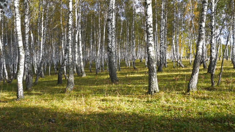 walking in the autumn birch forest Footage