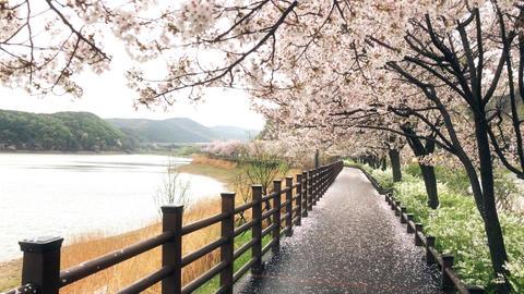 HD Cherry tree walkway Filmmaterial