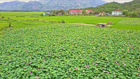 Close Aerial View of Lotus Flowers Field against Hills Footage