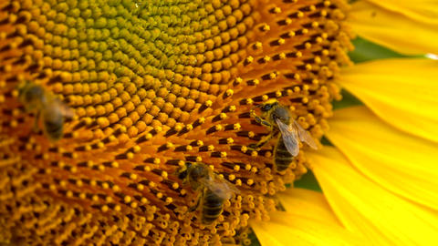 Bees working on Sunflower Footage