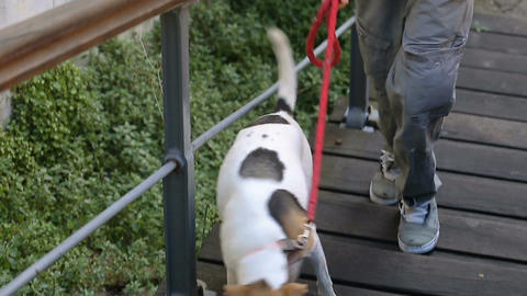 Guide-dog helping his owner to climb the stairs, male walking with his pet Footage