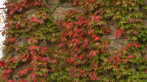 Brick walls covered with red and green ivy leaves, autumn in the city, park Footage