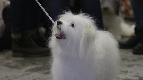 Smart and playful fluffy dog looking at master with love and devotion, pet show Footage