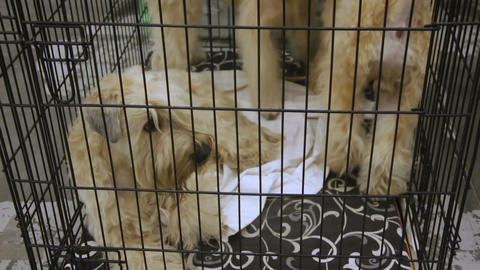 Cute homeless Terrier puppies waiting for their owners, wagging tails at shelter Footage