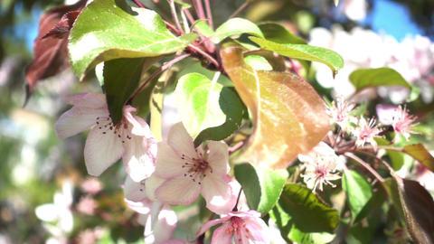 Apple Tree Flowers Videos de Stock