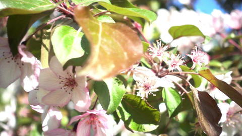 Apple Tree Flowers Footage