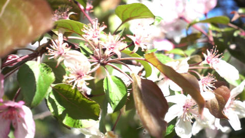 Apple Tree Flowers Videos de Stock