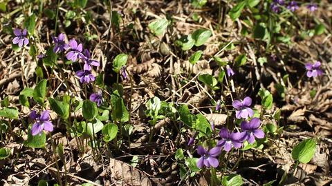 Forest violets spring primrose Footage