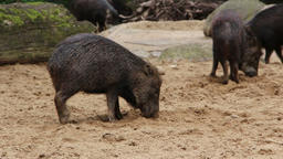 Black pigs using their snout in the dirt Footage