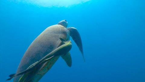 Diving in the Red sea near Egypt. Large green turtle grazing on the seabed Footage