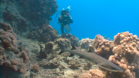 Fantastic dive with sharks. Diving in the Red sea near Egypt Footage