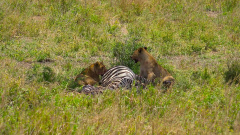 African lions near just killed them zebras Footage