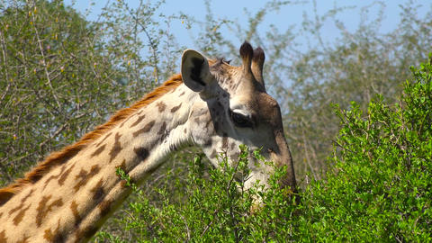 African giraffes. Safari - journey through the African Savannah. Tanzania Footage
