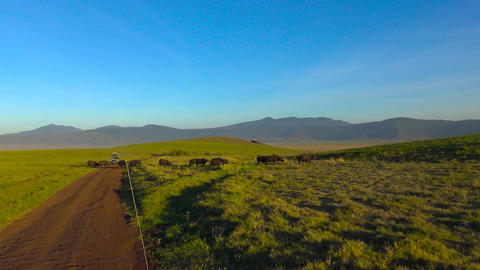 African Buffalo in the Ngorongoro crater. Safari - journey through the African S Footage