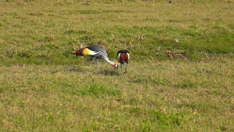 A pair of crowned cranes in the Ngorongoro crater Live Action