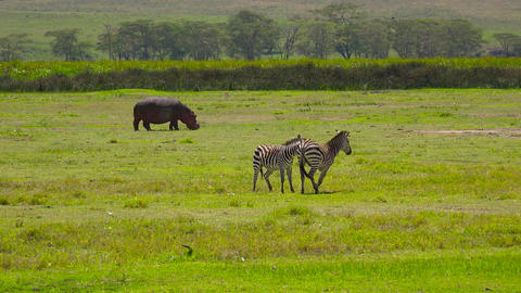 Hippopotamus and zebras in the Ngorongoro crater Footage